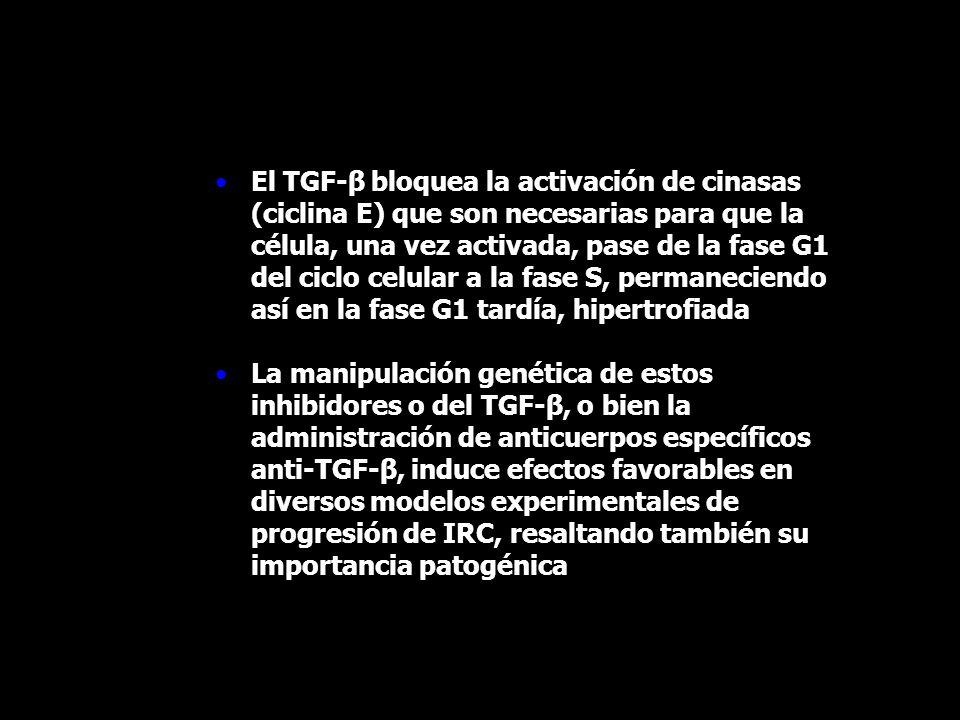 El TGF-β bloquea la activación de cinasas (ciclina E) que son necesarias para que la célula, una vez activada, pase de la fase G1 del ciclo celular a la fase S, permaneciendo así en la fase G1 tardía, hipertrofiada