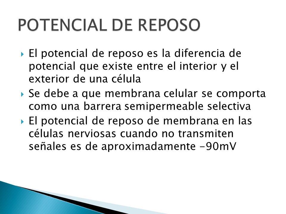 POTENCIAL DE REPOSO El potencial de reposo es la diferencia de potencial que existe entre el interior y el exterior de una célula.