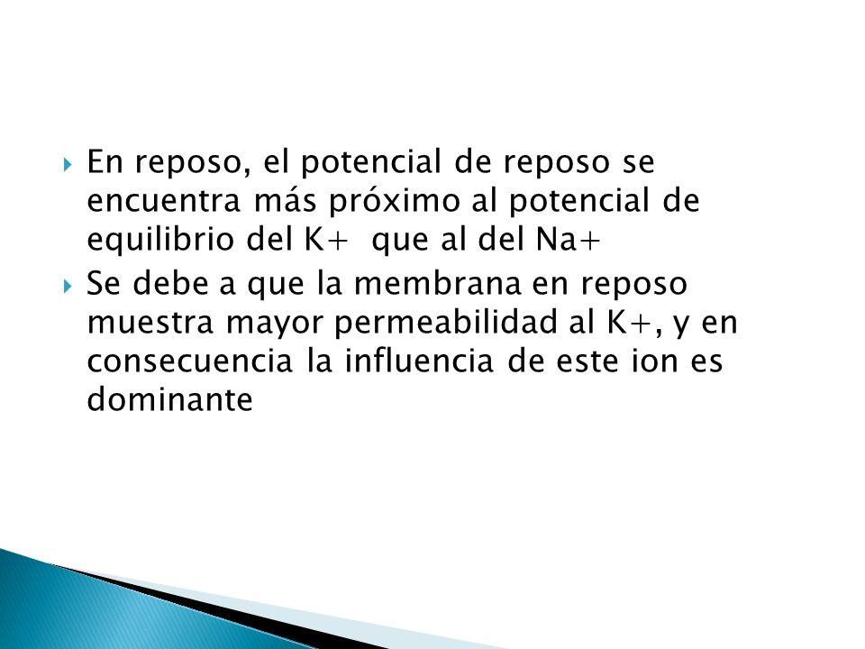 En reposo, el potencial de reposo se encuentra más próximo al potencial de equilibrio del K+ que al del Na+