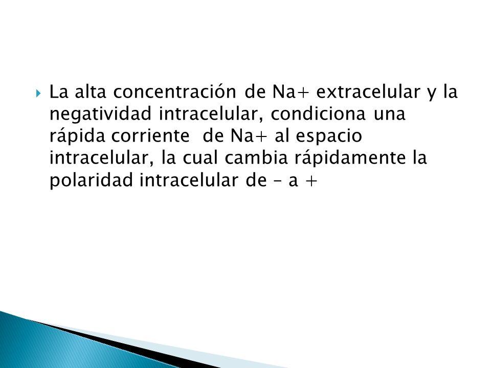 La alta concentración de Na+ extracelular y la negatividad intracelular, condiciona una rápida corriente de Na+ al espacio intracelular, la cual cambia rápidamente la polaridad intracelular de – a +