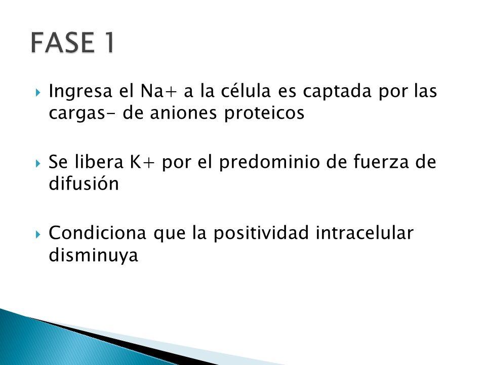 FASE 1 Ingresa el Na+ a la célula es captada por las cargas- de aniones proteicos. Se libera K+ por el predominio de fuerza de difusión.