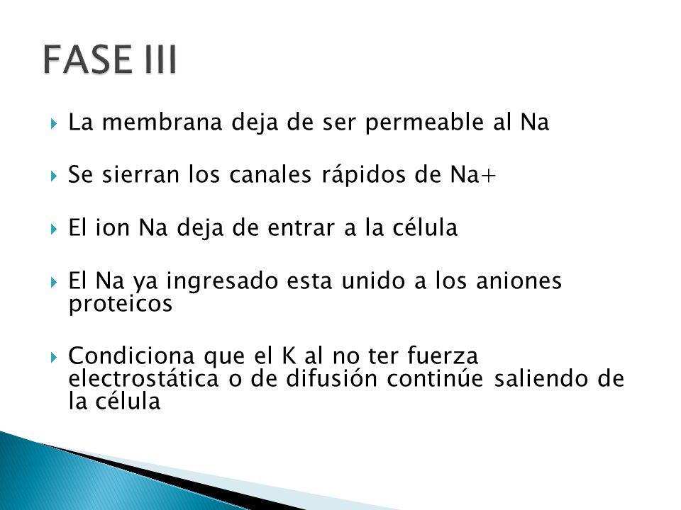 FASE III La membrana deja de ser permeable al Na
