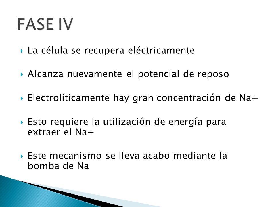FASE IV La célula se recupera eléctricamente