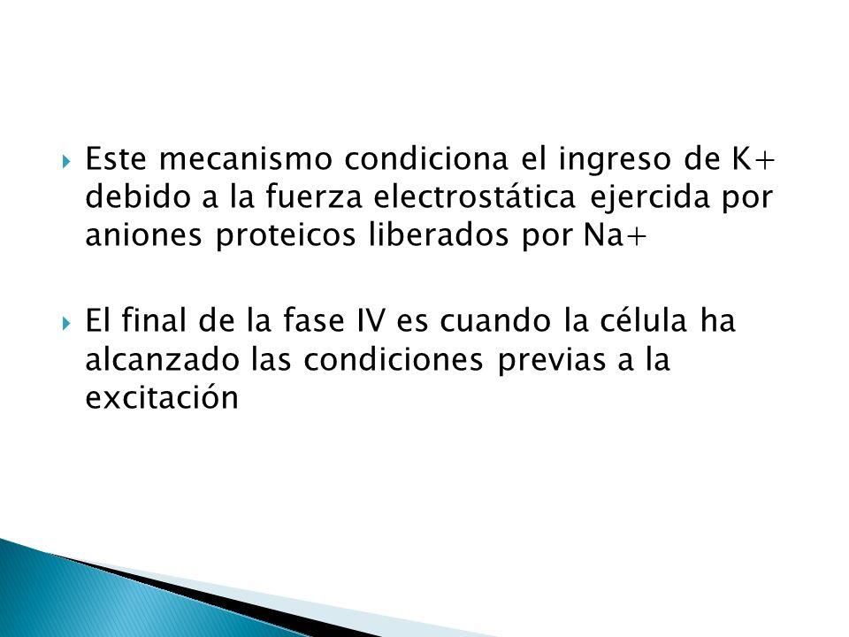Este mecanismo condiciona el ingreso de K+ debido a la fuerza electrostática ejercida por aniones proteicos liberados por Na+