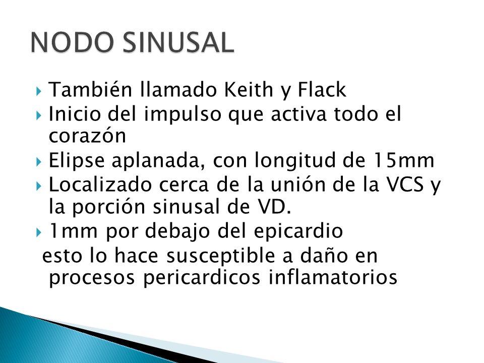 NODO SINUSAL También llamado Keith y Flack
