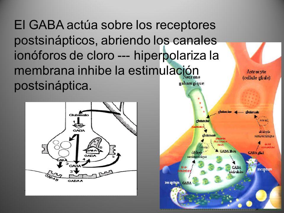 El GABA actúa sobre los receptores postsinápticos, abriendo los canales