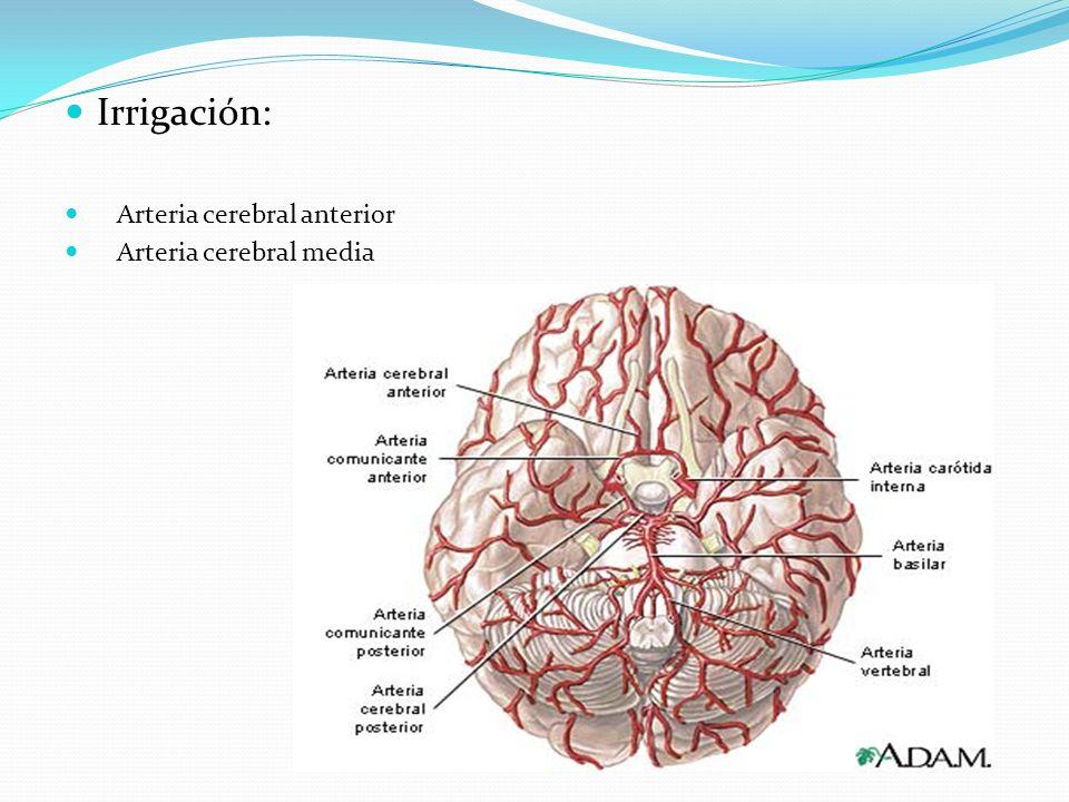 Irrigación: Arteria cerebral anterior Arteria cerebral media