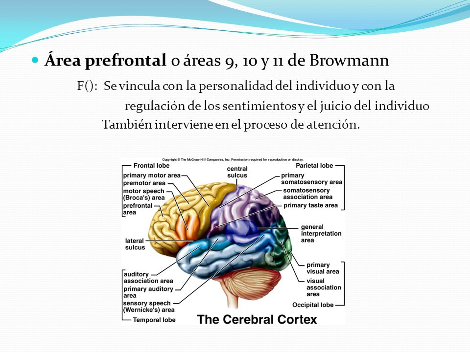 Área prefrontal o áreas 9, 10 y 11 de Browmann