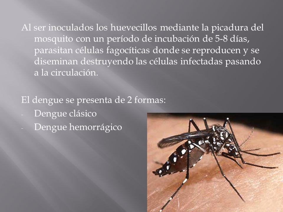 Al ser inoculados los huevecillos mediante la picadura del mosquito con un período de incubación de 5-8 días, parasitan células fagocíticas donde se reproducen y se diseminan destruyendo las células infectadas pasando a la circulación.
