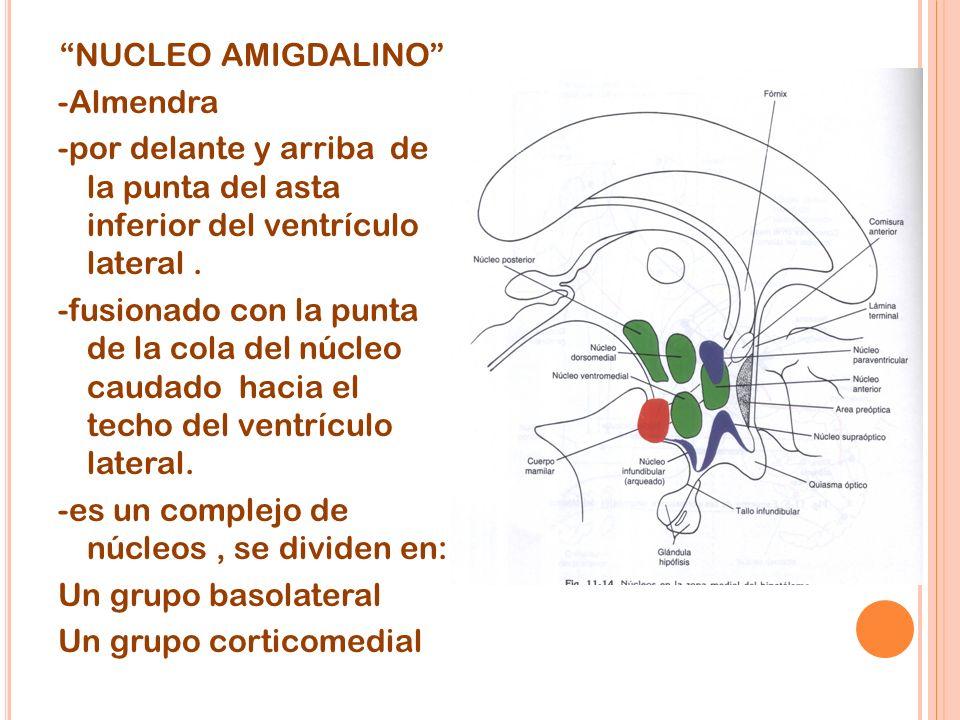 NUCLEO AMIGDALINO -Almendra -por delante y arriba de la punta del asta inferior del ventrículo lateral .