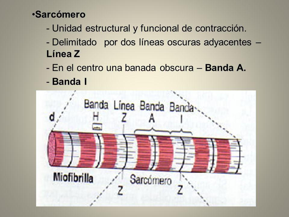 Sarcómero- Unidad estructural y funcional de contracción. - Delimitado por dos líneas oscuras adyacentes – Línea Z.