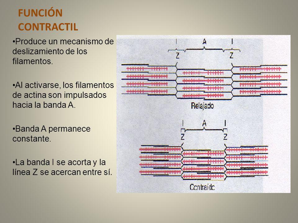 FUNCIÓN CONTRACTIL Produce un mecanismo de deslizamiento de los filamentos. Al activarse, los filamentos de actina son impulsados hacia la banda A.