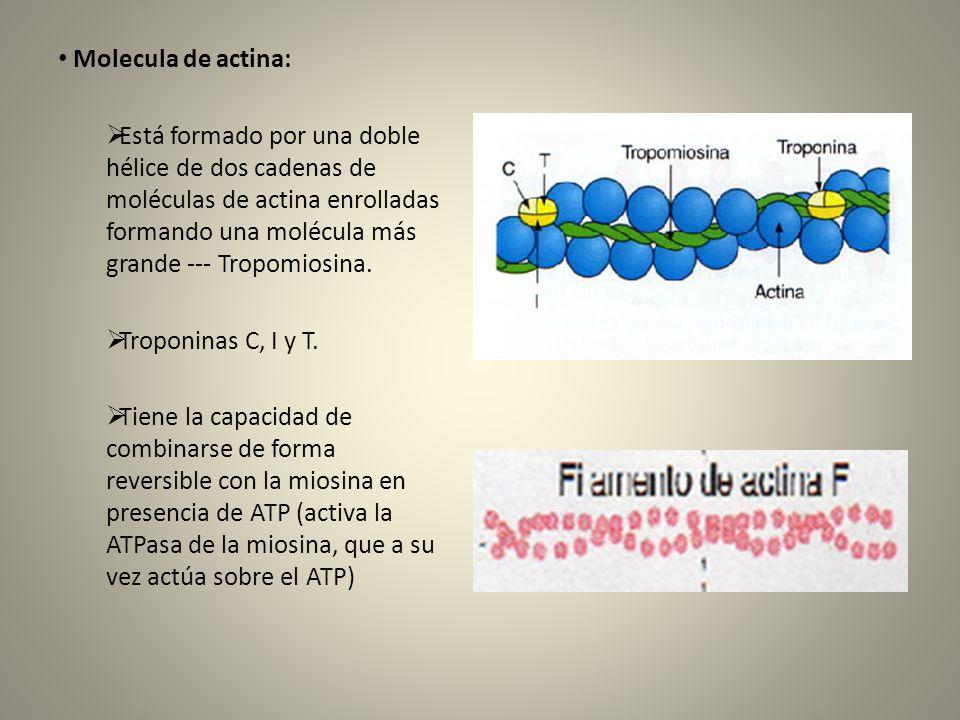 Molecula de actina: