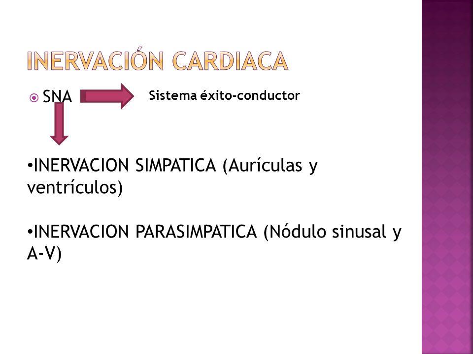Inervación cardiaca INERVACION SIMPATICA (Aurículas y ventrículos)