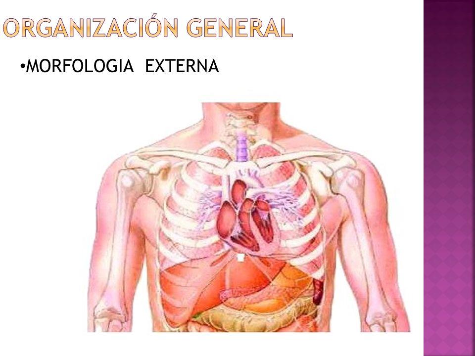 Organización general MORFOLOGIA EXTERNA