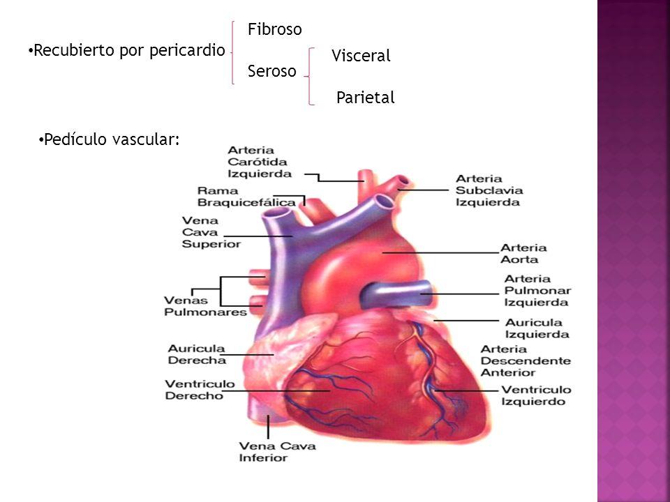 Fibroso Recubierto por pericardio Visceral Seroso Parietal Pedículo vascular: