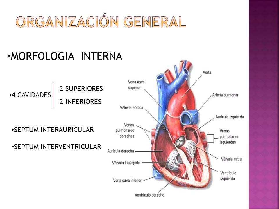 ORGANIZACIÓN GENERAL MORFOLOGIA INTERNA 2 SUPERIORES 4 CAVIDADES