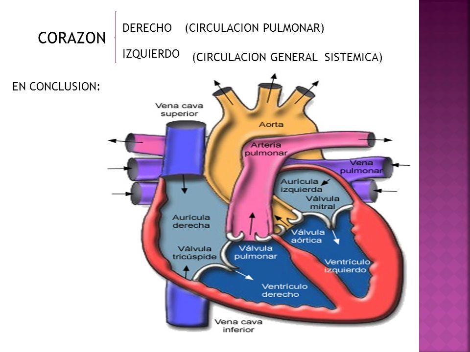 CORAZON DERECHO (CIRCULACION PULMONAR) IZQUIERDO