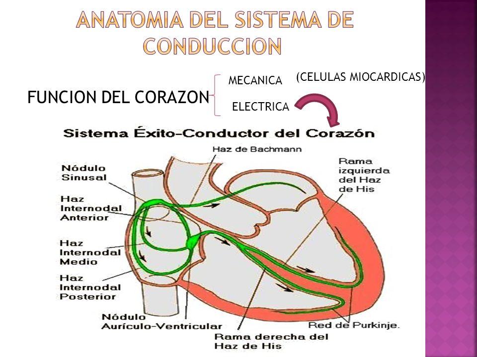 ANATOMIA DEL SISTEMA DE CONDUCCION