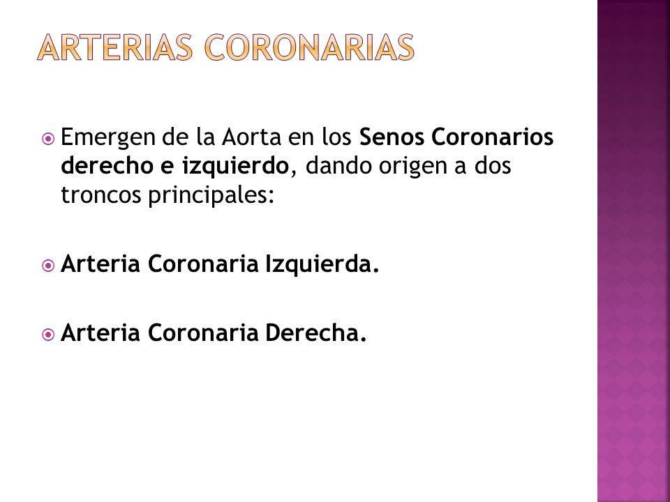 Arterias coronariasEmergen de la Aorta en los Senos Coronarios derecho e izquierdo, dando origen a dos troncos principales: