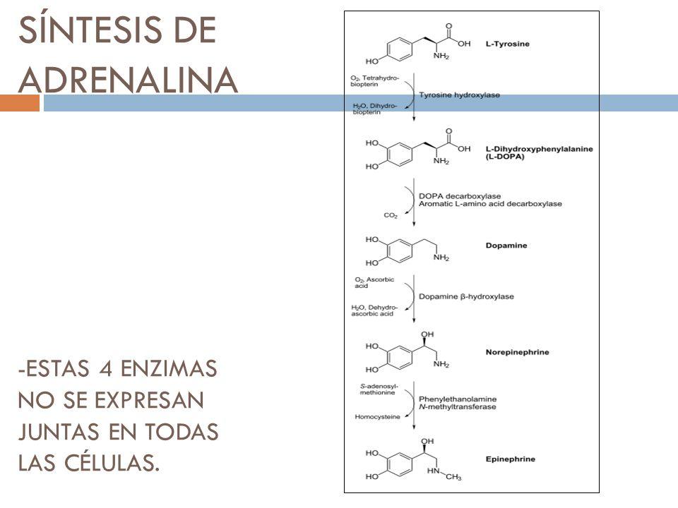 SÍNTESIS DE ADRENALINA -ESTAS 4 ENZIMAS NO SE EXPRESAN JUNTAS EN TODAS LAS CÉLULAS.