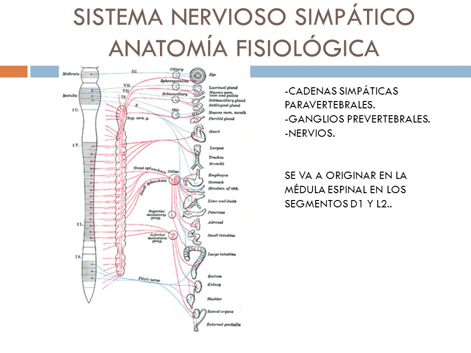 SISTEMA NERVIOSO SIMPÁTICO ANATOMÍA FISIOLÓGICA