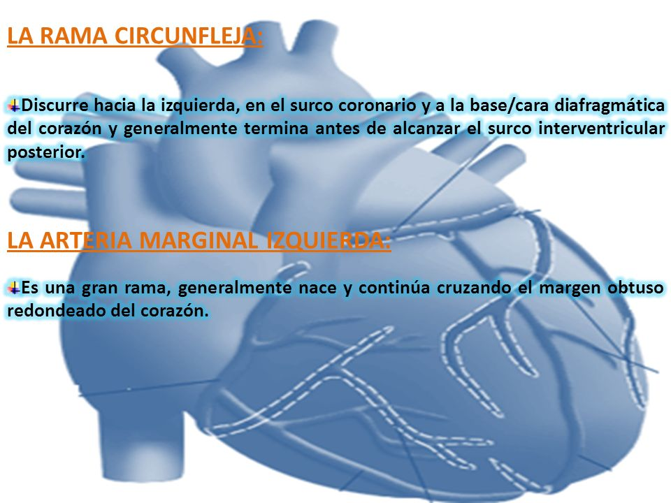 LA ARTERIA MARGINAL IZQUIERDA: