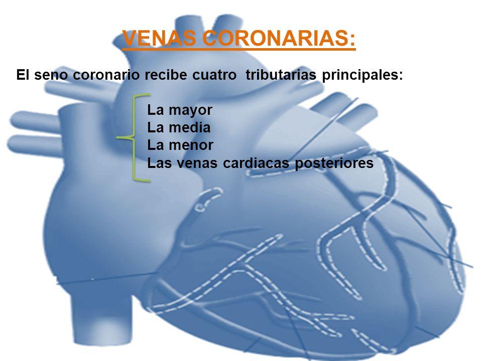 VENAS CORONARIAS:El seno coronario recibe cuatro tributarias principales: La mayor. La media. La menor.