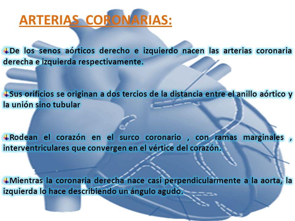 ARTERIAS CORONARIAS:De los senos aórticos derecho e izquierdo nacen las arterias coronaria derecha e izquierda respectivamente.