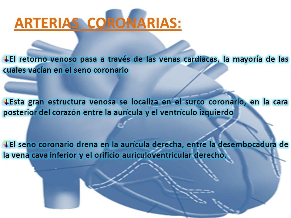 ARTERIAS CORONARIAS:El retorno venoso pasa a través de las venas cardiacas, la mayoría de las cuales vacían en el seno coronario.