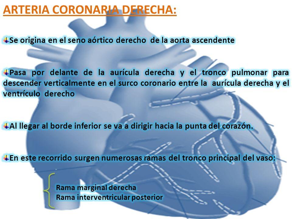 ARTERIA CORONARIA DERECHA:
