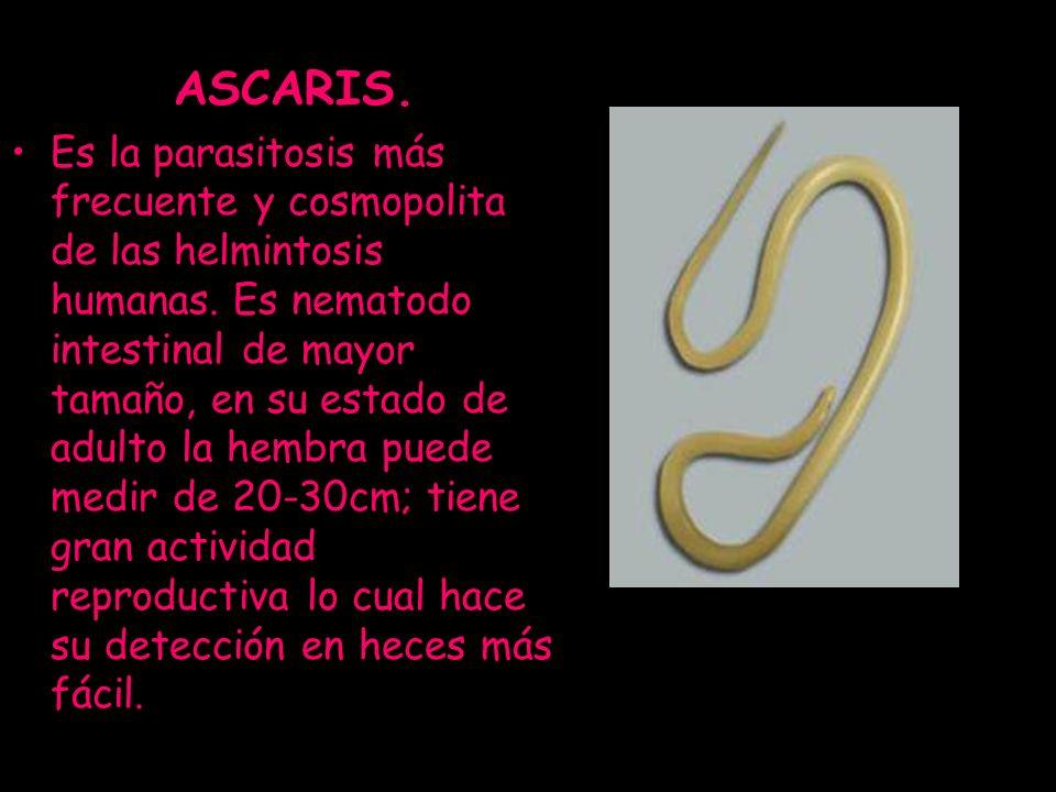 ASCARIS.