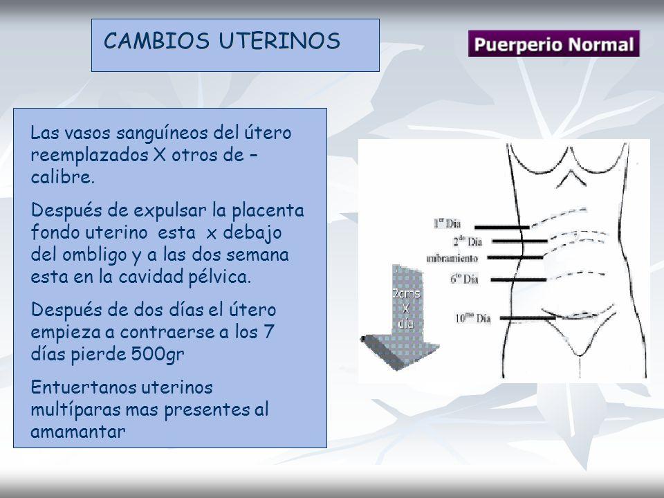 CAMBIOS UTERINOS Las vasos sanguíneos del útero reemplazados X otros de – calibre.