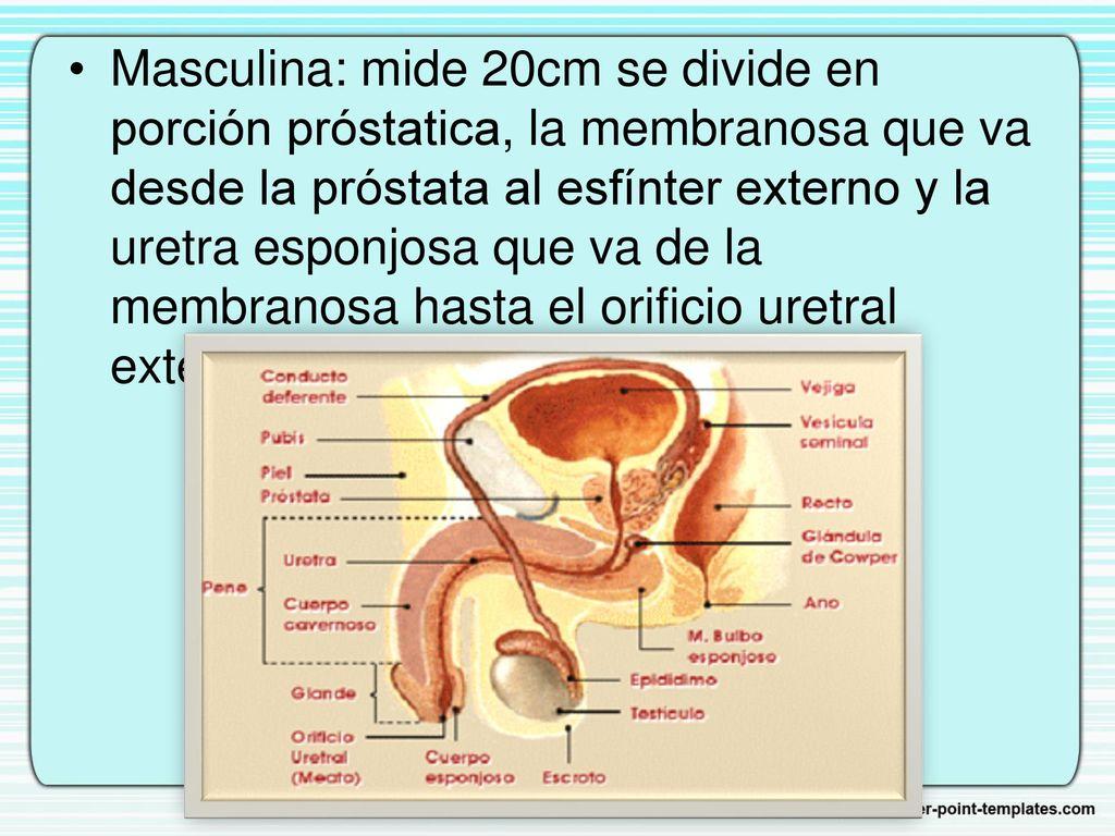 Magnífico Diagrama De La Anatomía Masculina Ornamento - Anatomía de ...