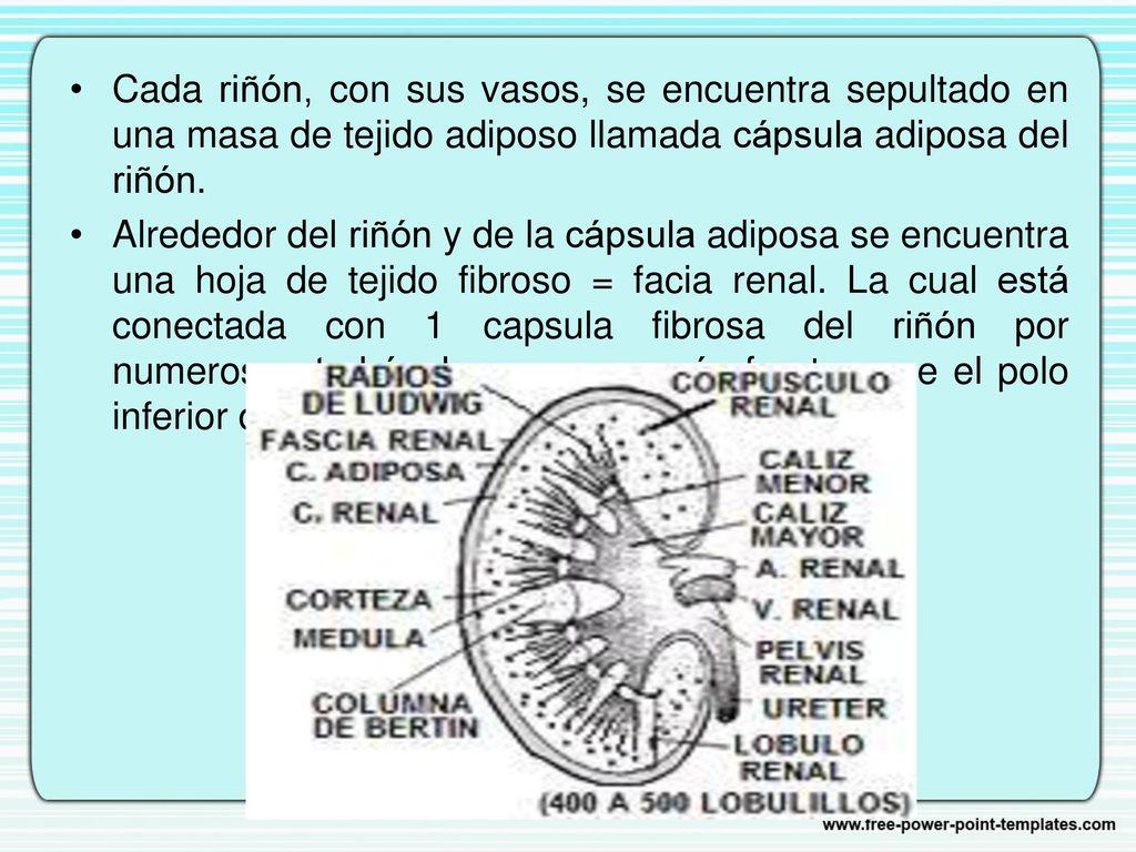 Contemporáneo Definir La Anatomía Tejidos Fotos - Anatomía de Las ...