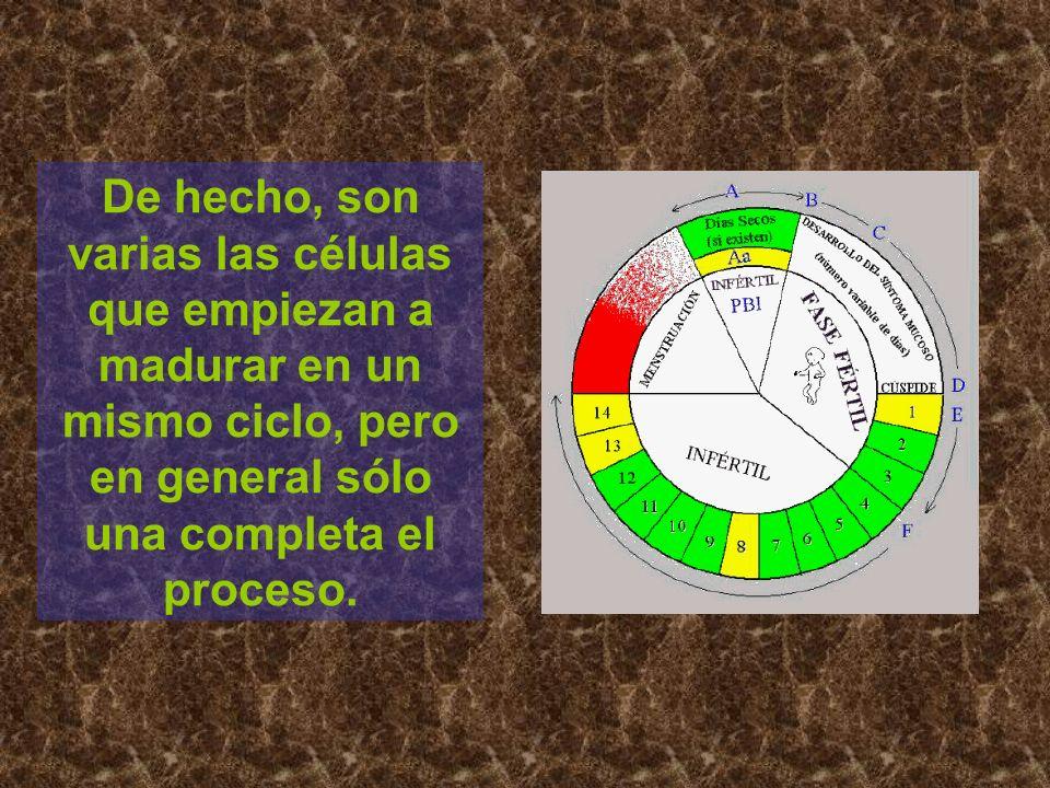 De hecho, son varias las células que empiezan a madurar en un mismo ciclo, pero en general sólo una completa el proceso.