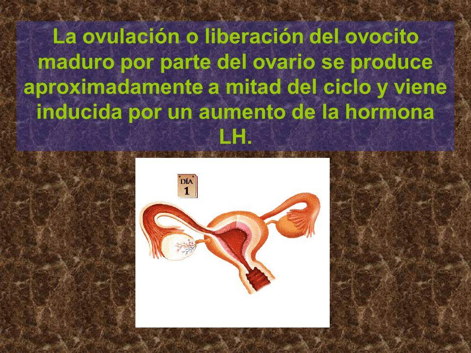 La ovulación o liberación del ovocito maduro por parte del ovario se produce aproximadamente a mitad del ciclo y viene inducida por un aumento de la hormona LH.