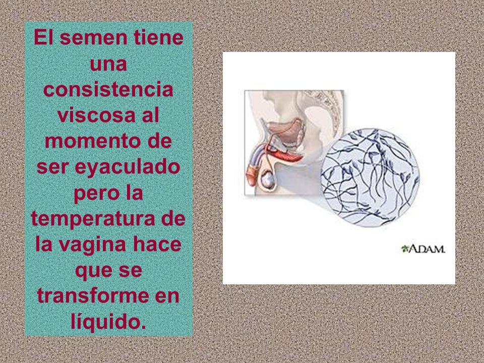 El semen tiene una consistencia viscosa al momento de ser eyaculado pero la temperatura de la vagina hace que se transforme en líquido.