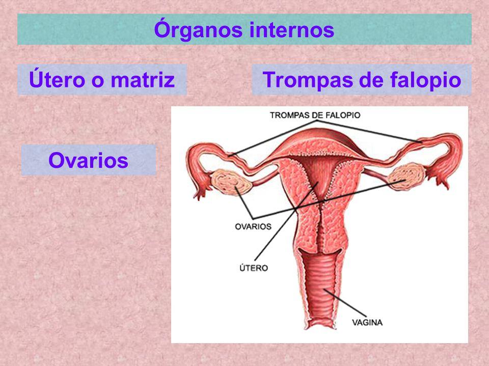 Órganos internos Útero o matriz Trompas de falopio Ovarios