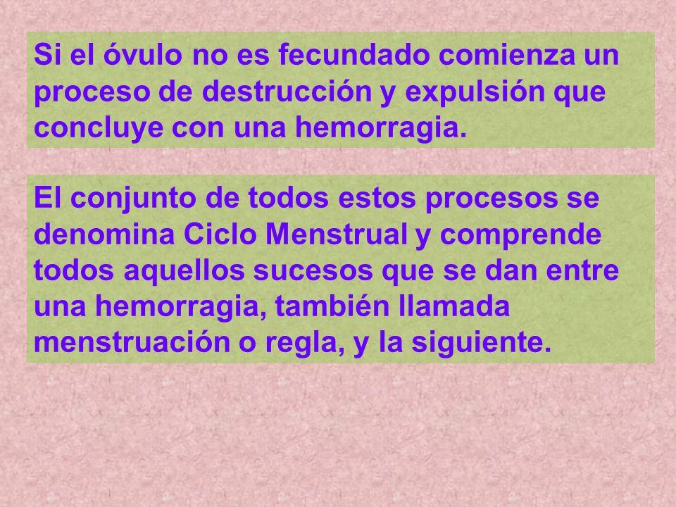 Si el óvulo no es fecundado comienza un proceso de destrucción y expulsión que concluye con una hemorragia.