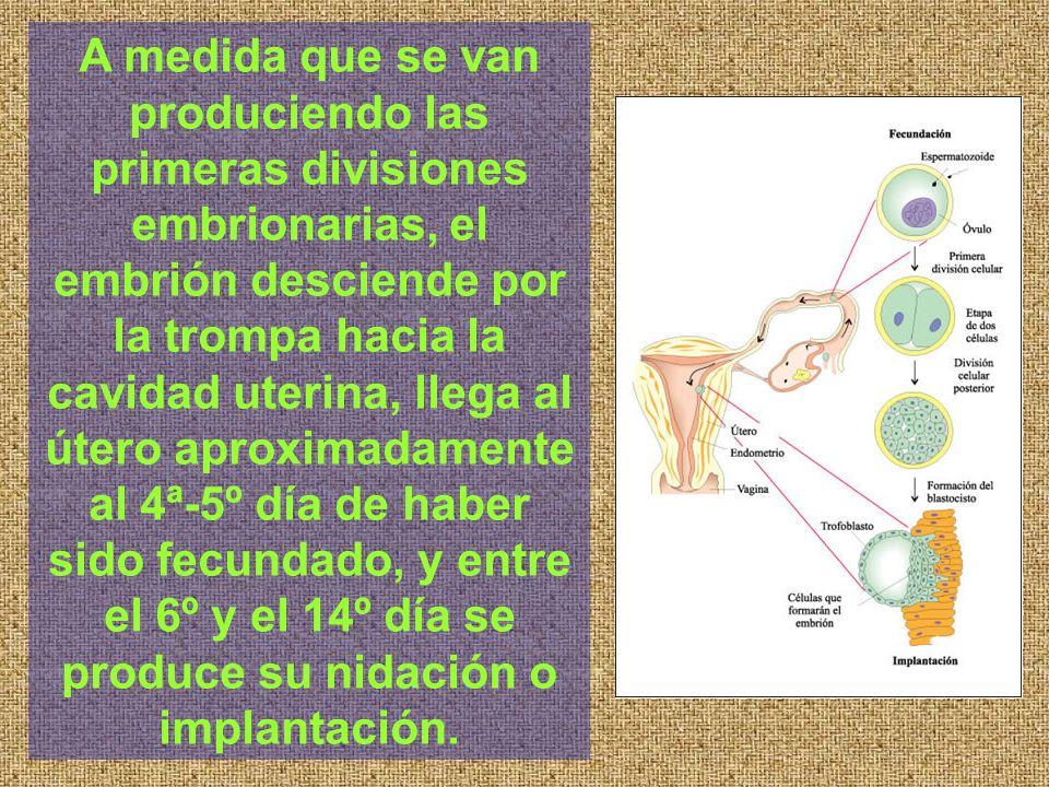 A medida que se van produciendo las primeras divisiones embrionarias, el embrión desciende por la trompa hacia la cavidad uterina, llega al útero aproximadamente al 4ª-5º día de haber sido fecundado, y entre el 6º y el 14º día se produce su nidación o implantación.