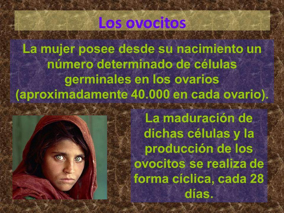 Los ovocitosLa mujer posee desde su nacimiento un número determinado de células germinales en los ovarios (aproximadamente 40.000 en cada ovario).