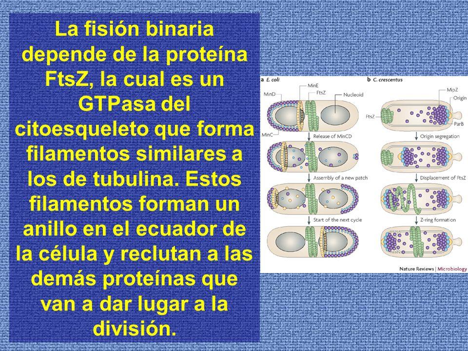 La fisión binaria depende de la proteína FtsZ, la cual es un GTPasa del citoesqueleto que forma filamentos similares a los de tubulina.
