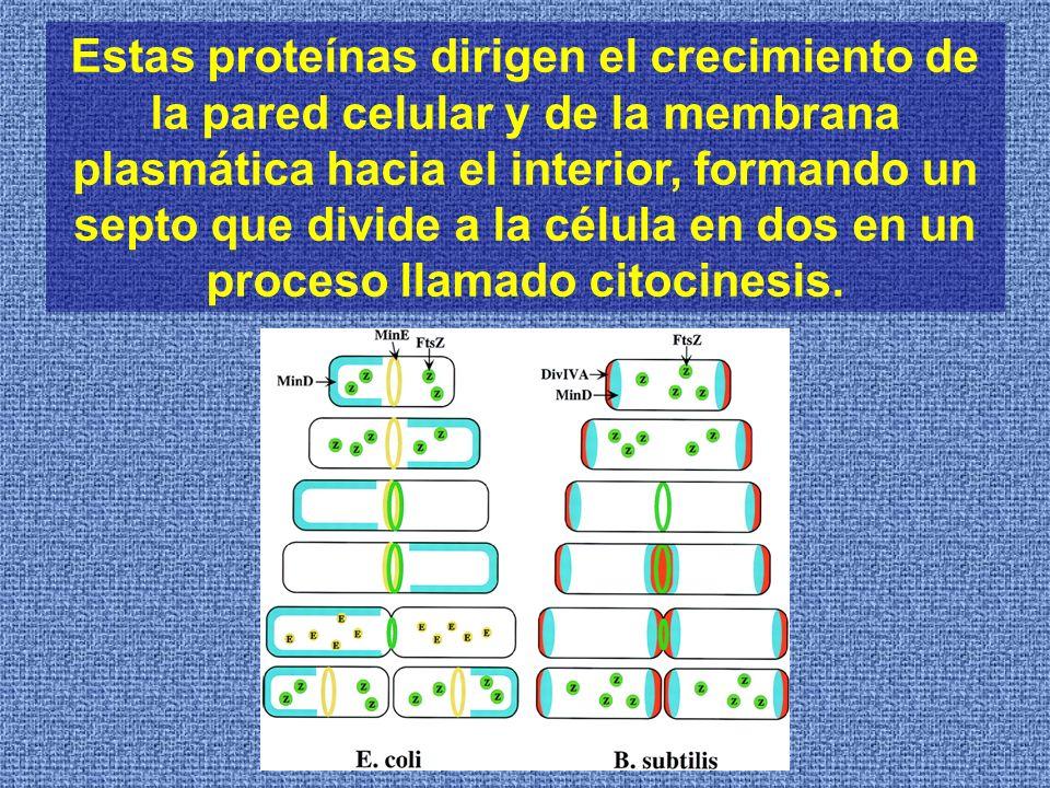 Estas proteínas dirigen el crecimiento de la pared celular y de la membrana plasmática hacia el interior, formando un septo que divide a la célula en dos en un proceso llamado citocinesis.