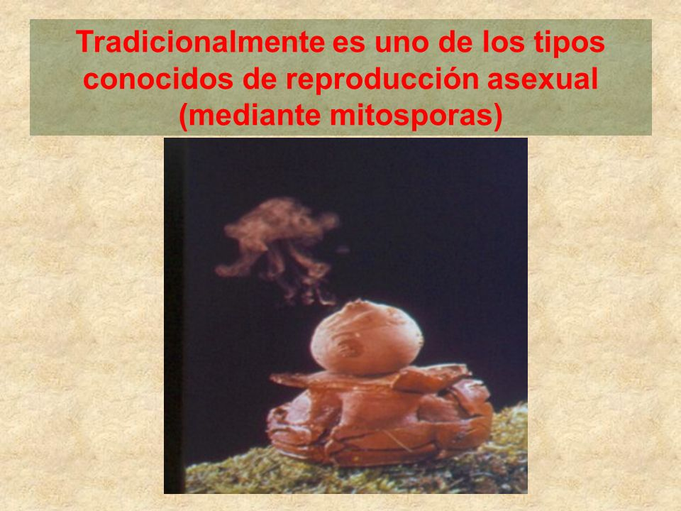 Tradicionalmente es uno de los tipos conocidos de reproducción asexual (mediante mitosporas)