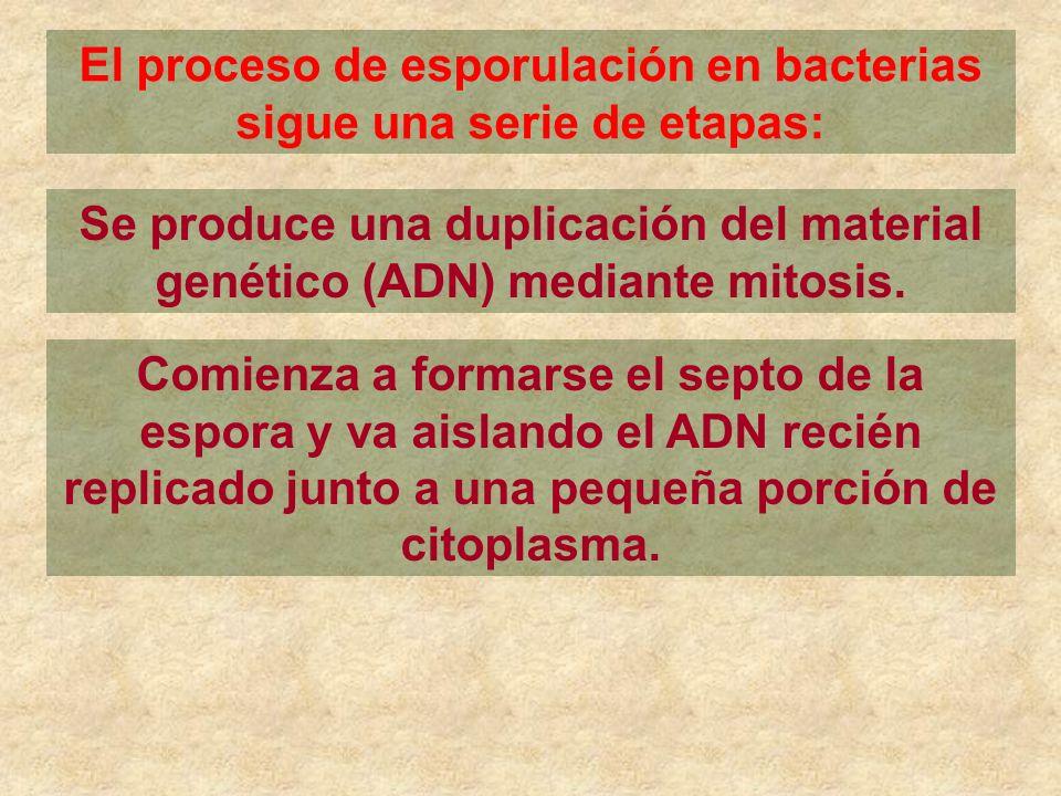 El proceso de esporulación en bacterias sigue una serie de etapas: