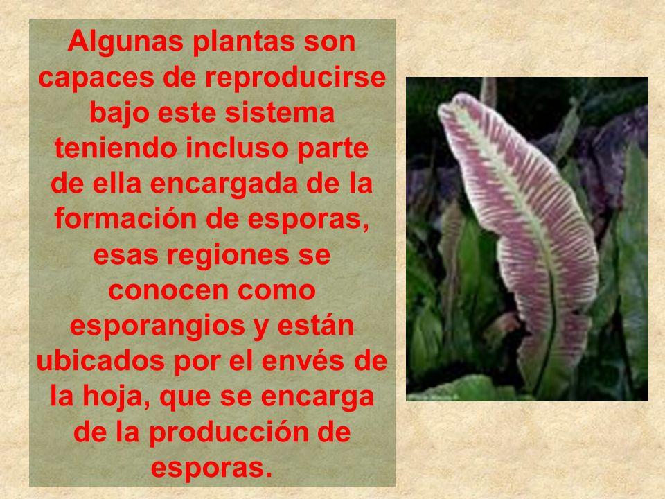 Algunas plantas son capaces de reproducirse bajo este sistema teniendo incluso parte de ella encargada de la formación de esporas, esas regiones se conocen como esporangios y están ubicados por el envés de la hoja, que se encarga de la producción de esporas.