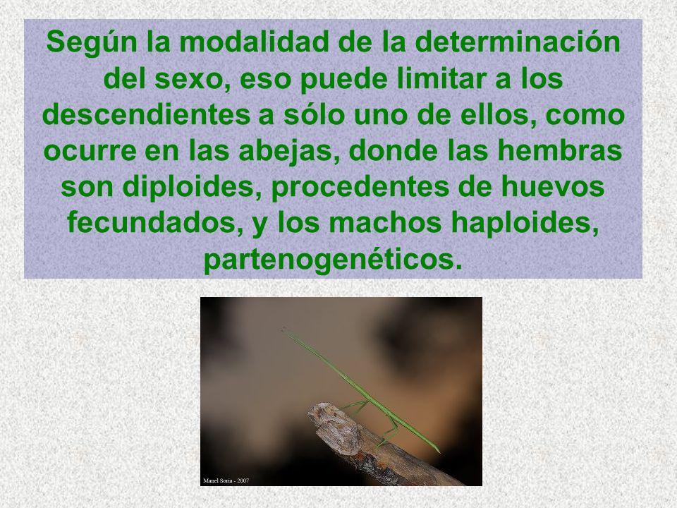 Según la modalidad de la determinación del sexo, eso puede limitar a los descendientes a sólo uno de ellos, como ocurre en las abejas, donde las hembras son diploides, procedentes de huevos fecundados, y los machos haploides, partenogenéticos.