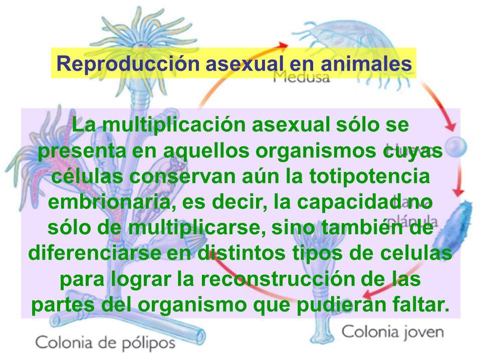 Reproducción asexual en animales