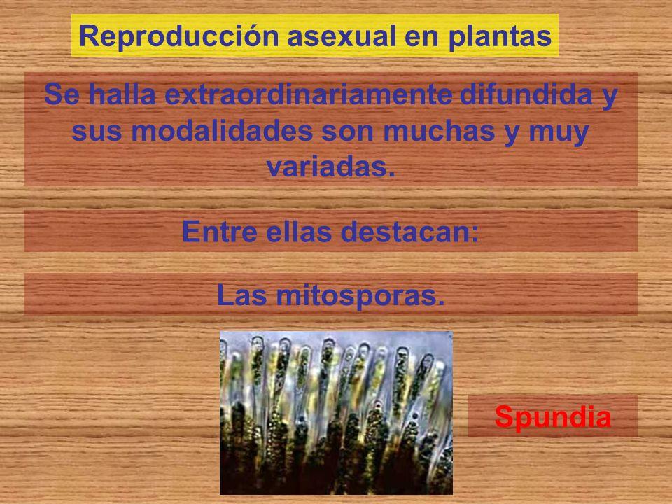 Reproducción asexual en plantas
